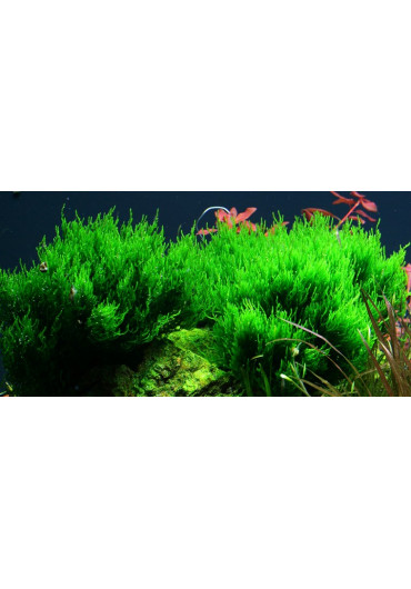 Taxiphyllum 'Flame' - Tropica steril