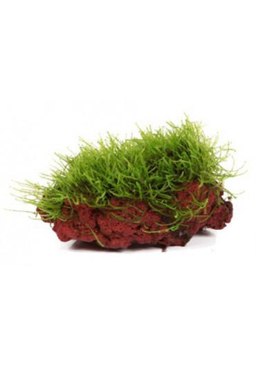 Kődekor Taxiphyllum barbieri - Tropica