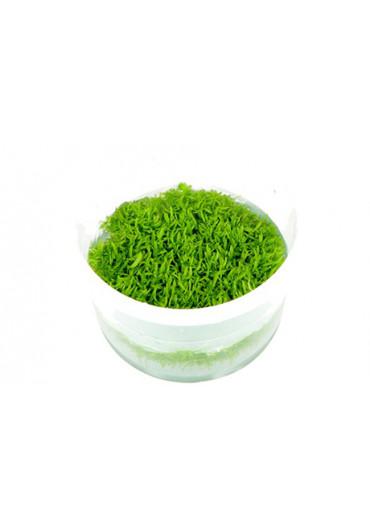 Utricularia graminifolia - Tropica steril