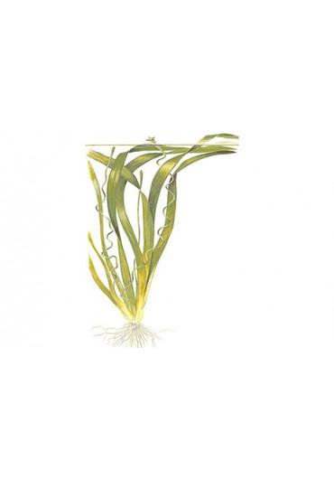 Vallisneria americana 'gigantea' - Tropica