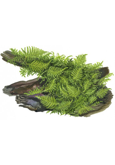 Fadekor Vesicularia dubyana 'Christmas' - Tropica