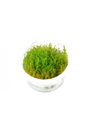 Vesicularia dubyana 'Christmas' - Tropica steril