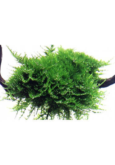 Vesicularia dubyana 'Christmas' - Tropica dobozos